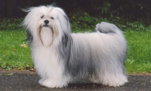 5 melhores raças de cães para idosos - Lhasa Apso