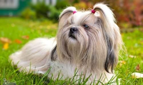 5 melhores raças de cães para idosos - Shih-Tzu