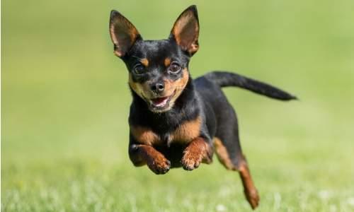 5 melhores raças de cães para idosos - chihuahua