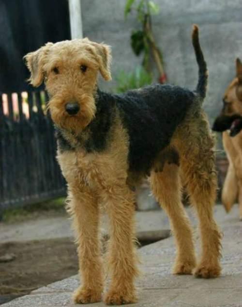 Airedale Terrier - Guia de Raças 04