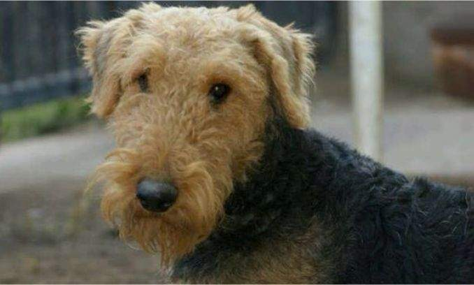 Guia de racas - Airedale Terrier 01