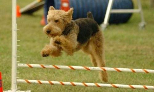 Airedale Terrier - Guia de Raças 07