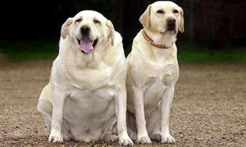 cachorro obeso
