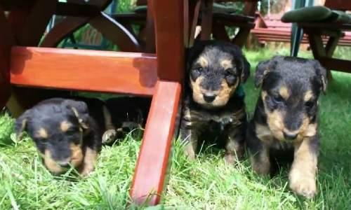 Airedale Terrier - Guia de Raças 05