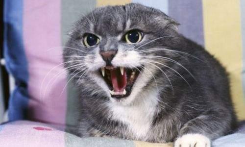 Como saber se um gato está estressado - gato bravo