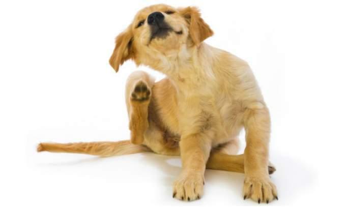 Como remover pulgas em cães com vinagre - capa