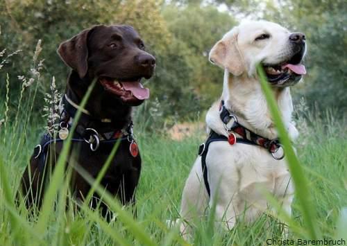 Labrador Retriever - Guia de Raças - labrador 01