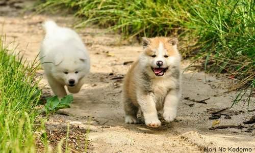 Akita - Guia de Raças - filhotes