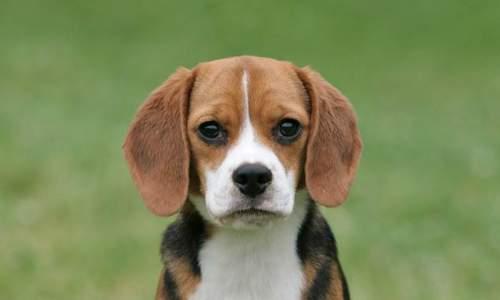 beagle 06