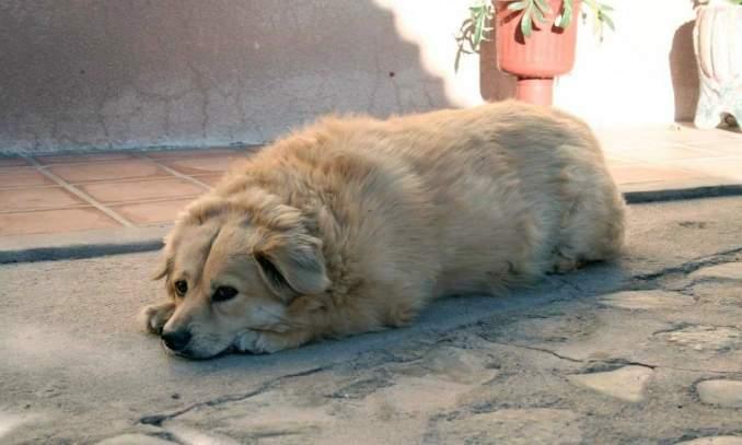 Golden Retriever - obesidade em cães