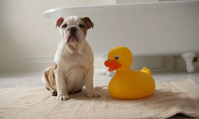 Banho seco para cachorros - Receita caseira