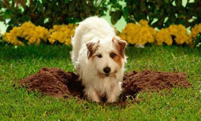 Por que cachorros comem terra